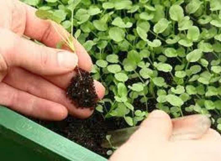 Когда у растения появились 2-3 листочка, его пикируют – то есть рассаживают по более просторным ящичкам