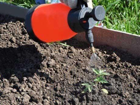 Подкормка помидор необходима, если растениям не хватает микроэлементов