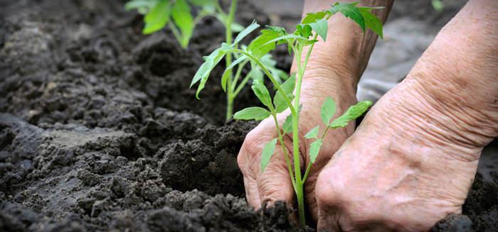 Проблема нехватки элементов часто возникает после посадки томатов. Если не придать ей значения, урожай будет небогатым