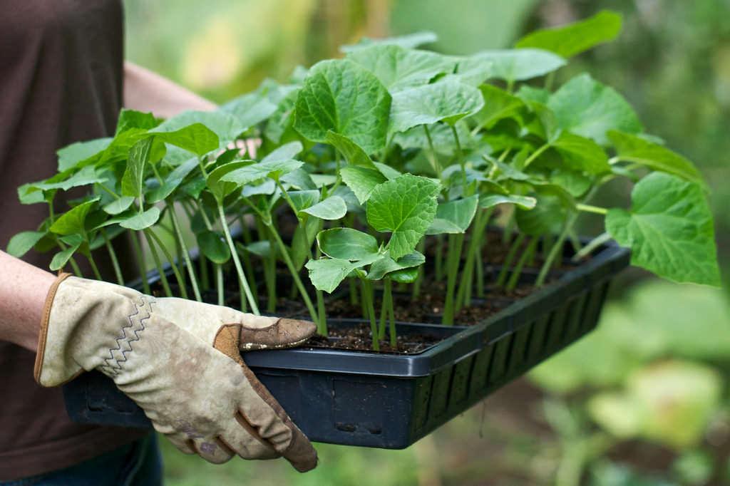 Перед пересадкой в грядки рассаду следует опрыскать раствором микроэлементов и подкормить