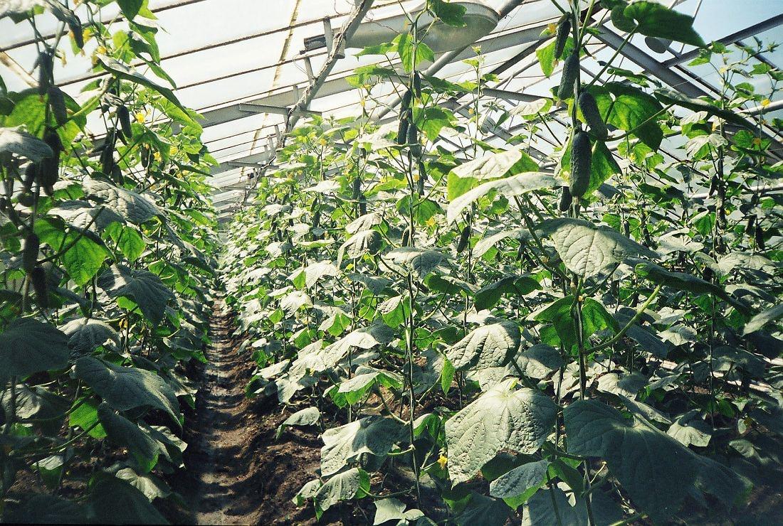 Тепличные огурцы положено подкармливать до пяти раз за весь период роста