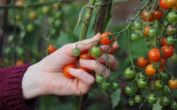 Чтобы правильно выбрать томаты для парника или теплицы, следует учитывать основные характеристики этой овощной культуры