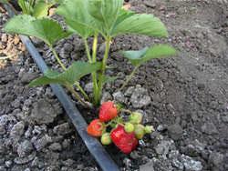 Выращивание клубники возможно не только на грядках