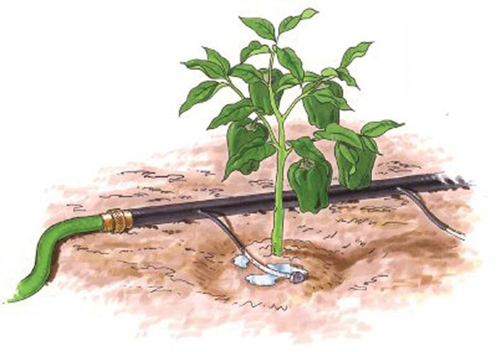 Почва вокруг тепличных перцев должна быть всегда качественно увлажненной. Однако переувлажнение может негативно сказаться на росте и развитии этой культуры