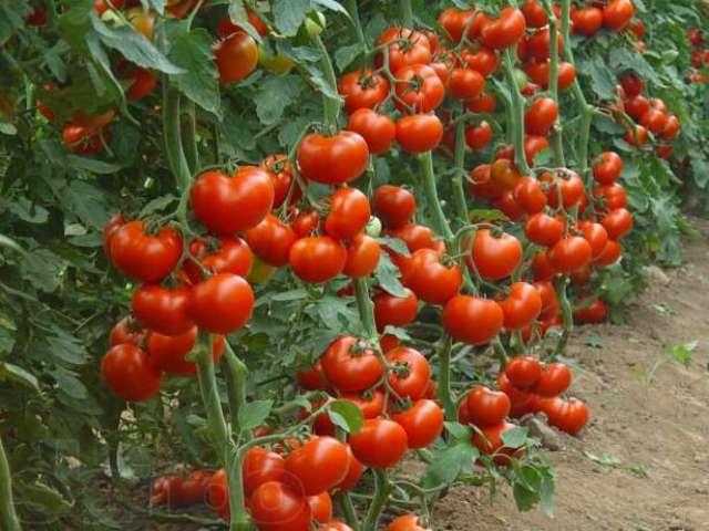 В наше время на рынке представлено огромное количество сортов томатов
