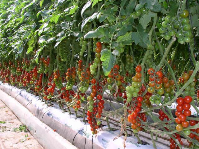 Как только первый весенний лучик касается земли, огородники задумываются о том, что не за горами посадка томатов