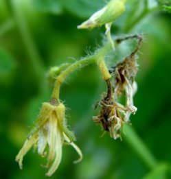 Томаты требуют повышенного внимания к выращиванию
