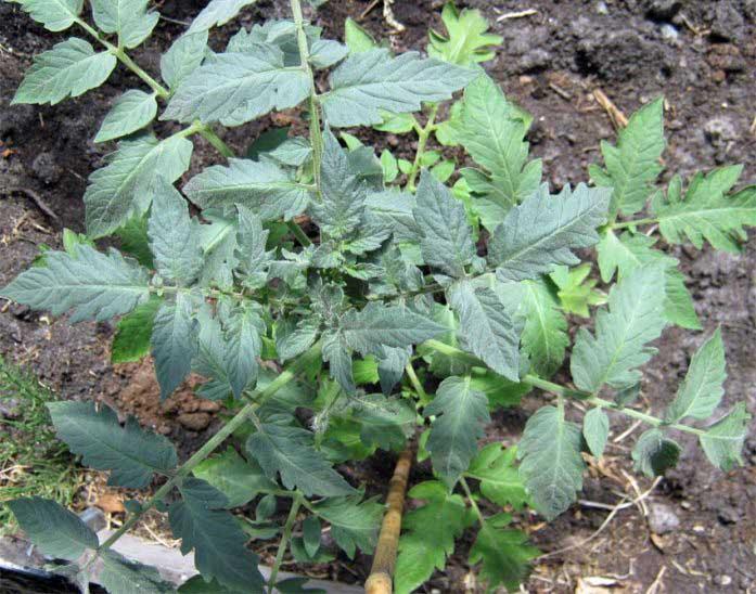 Если у растений посветлели листья, это сигнализирует о недостатке азота