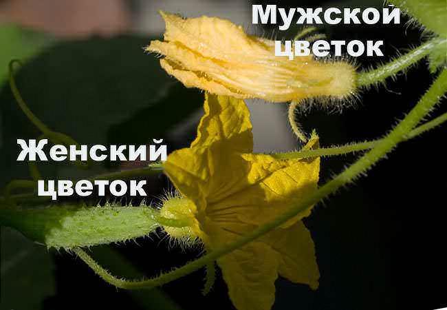 Пустоцветом принято называть однополые или мужские тычиночные цветки, а также цветки, которые в результате каких-то причин остались неопыленными и неоплодотворенными