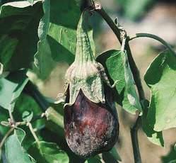 Болезни баклажанов поражают овощную культуру на разных этапах развития