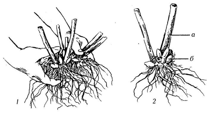 Вырастить ревень в тепличных условиях можно делением корневища на части