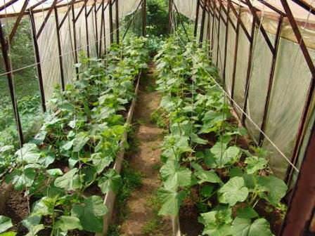 Правильно расположить растения в парнике – целая наука