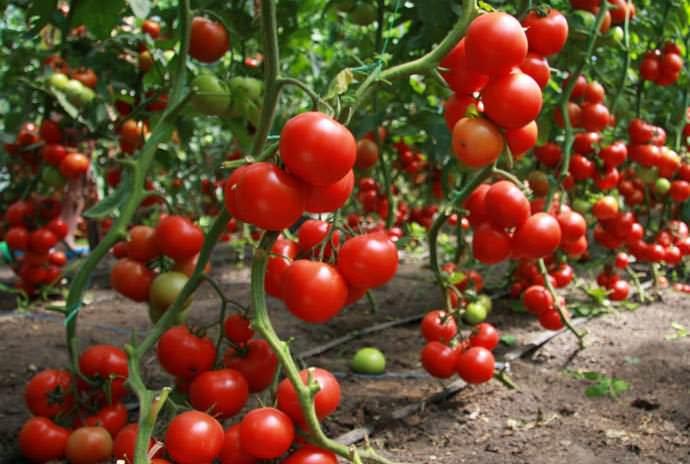 Прежде чем удобрять помидоры, следует выяснить, какие именно компоненты лучше всего использовать для подкормки