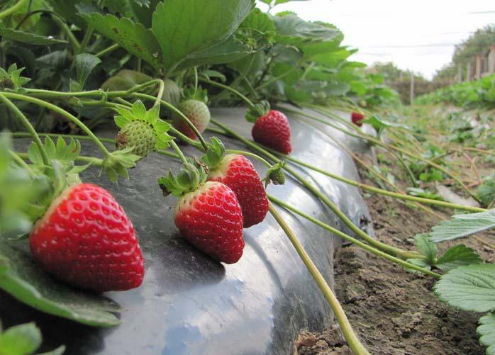Клубнику американской селекции «Альбион» можно позиционировать как сорт, адаптированный для выращивания в теплых климатических условиях