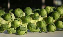Капу́ста брюссе́льская является разновидностью растения капуста огородная из семейства Капустные