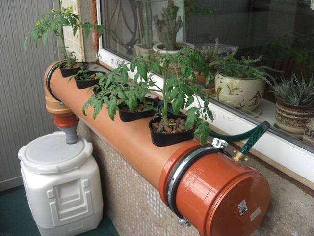 Применение гидропоники позволяет выращивать не только зелень, но и овощные культуры