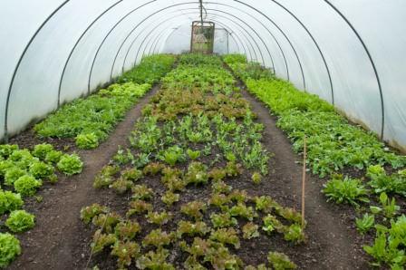 Салат прекрасно чувствует себя в тепличных условиях в зимний период, если строение утеплено и обогревается