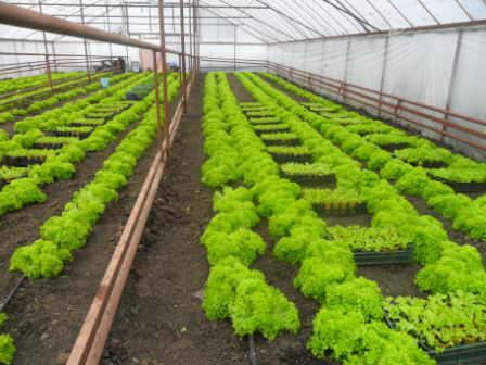 Высаживают салат в хорошо разрыхленную почву