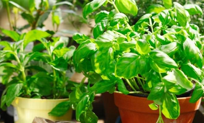 Домашние или комнатные мини-огороды, позволяющие получать свежую витаминную зелень не выходя из дома, становятся всё более популярными