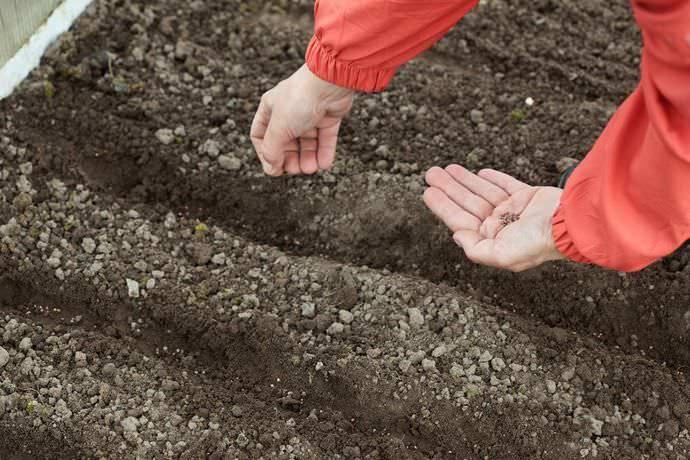 Свекла гибридной формы «Пабло f1» выращивается и посредством посева семян в теплицу