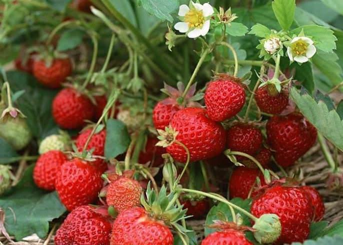 Клубника «Диамант» известна стабильной урожайностью