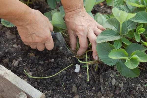 Обязательным условием получения качественного и высокого урожая сорта «Gigantella Maxim» является систематическое удаление усов
