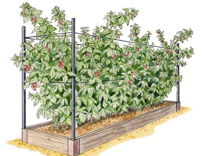 Высокорослые кусты малины «Гусар» желательно выращивать с применением шпалерного метода