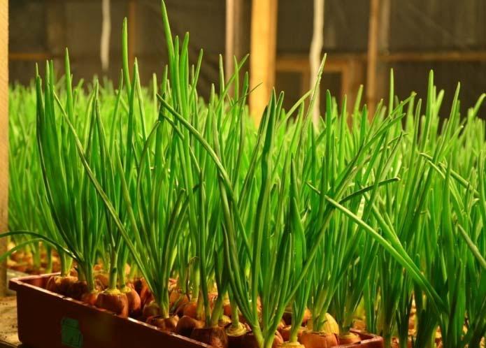 В последние десять дней ноября рекомендуется провести работы по выгонке зеленого лукового пера