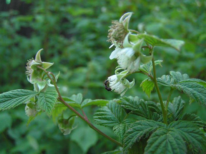 Сорт Карамелька признан пригодным для выращивания на маленьких и больших посадочных площадях