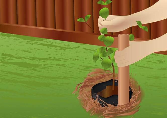 Абрикос саженцами высаживается весной или осенью