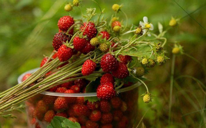 При сборе и переработке урожая сорта «Али-Баба» необходимо помнить, что качество и показатели плотности осенней ягоды заметно уступают летнему урожаю