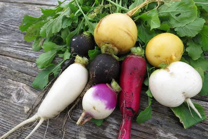 В середине июня уже можно проводить первый сбор урожая репы, раннего редиса и лука