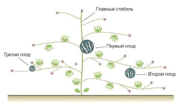 Выращиваемые в защищённом грунте арбузы необходимо формировать