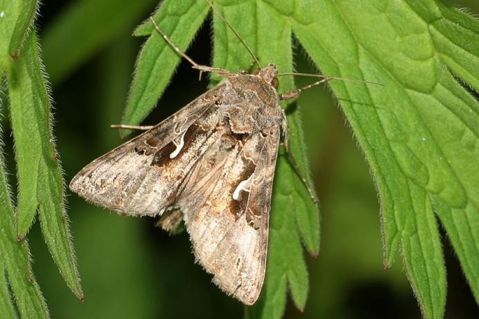 В теплице во время вегетации кустов следует своевременно удалять сорняки, они представляют собой источник питания для бабочек совки