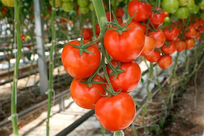 Индетерминантные помидоры представлены различными сортами