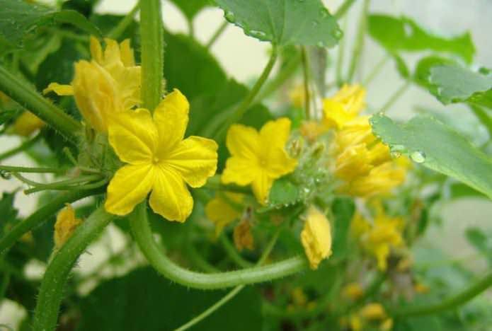 Огородник сталкивается с проблемой, когда на цветках нет завязей или они опадают