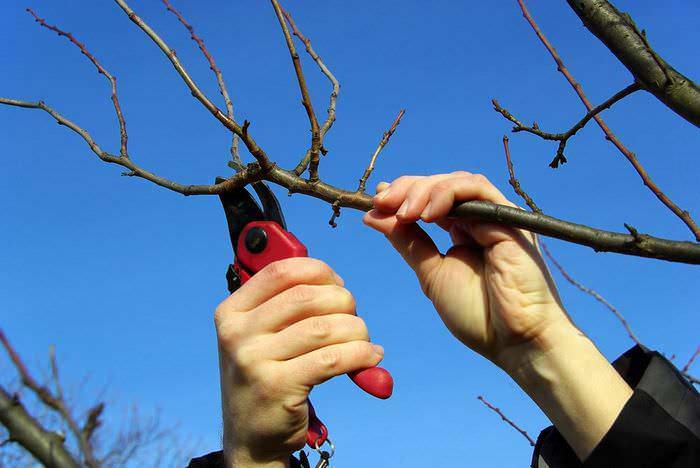 Чтобы получить максимально высокий и качественный урожай на следующий год, очень важно проводить правильную осеннюю обрезку абрикоса