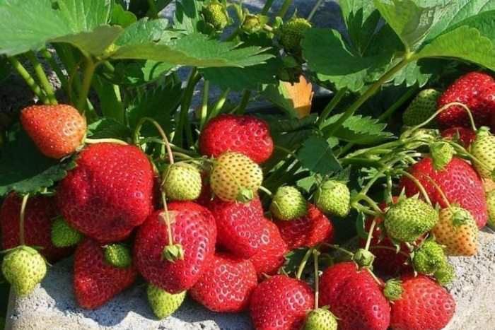 Клубника «Московский деликатес» – крупноплодный сорт с довольно высокими и пышными кустами