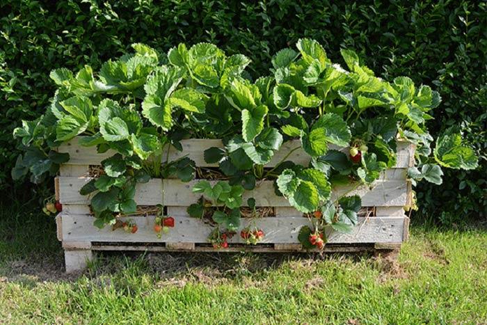 На высокой гряде клубника даст хороший урожай только в том случае, если будет использован плодородный грунт. Весной его следует удобрить