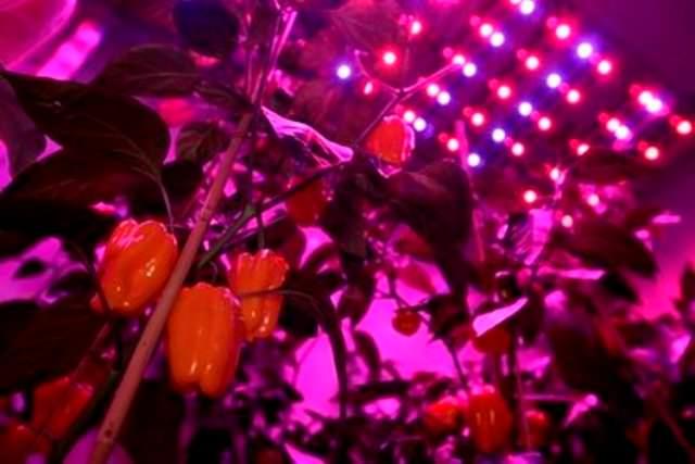 Растения при освещении их светодиодами проходят полный цикл своего развития от прорастания из семян до плодоношения за то же время, в течение которого растения под светом люминесцентных ламп только начинают цвести