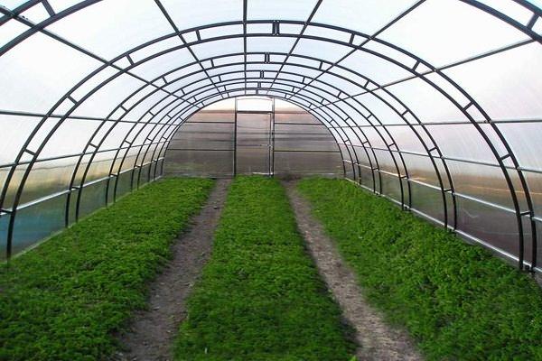 В основном в продажу поступают лук и укроп. Но это не значит, что не следует выращивать другие виды зелени