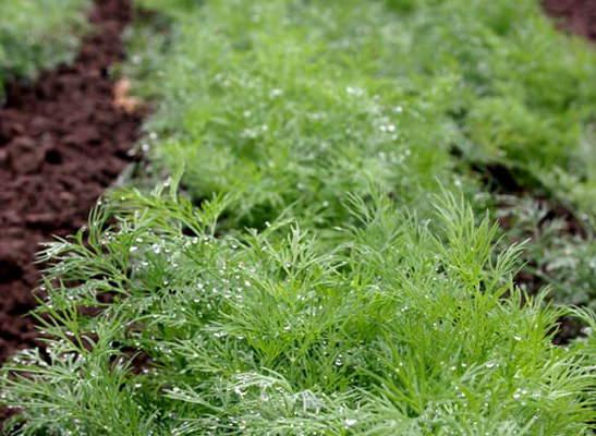 Самая ходовая зелень – это укроп. Ввиду этого, примерно 50% урожая должно состоять именно из этого растения