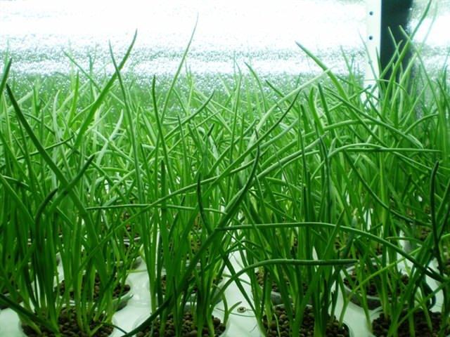 Без зеленого лука попросту не обойтись. Спрос на него просто огромный
