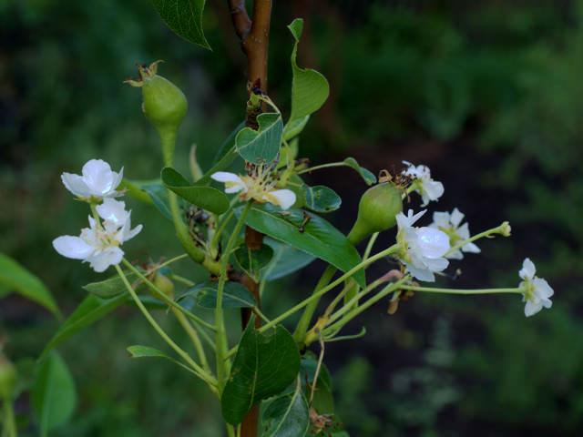 Любимица Клаппа – самобесплодный сорт, которому для нормального плодоношения нужны опылители