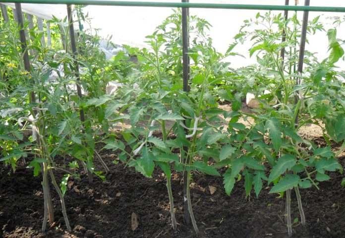 Индетерминантные сорта тепличных томатов отличаются тем, что основной стебель у них растет неограниченно