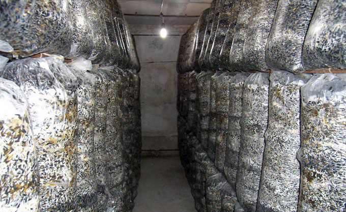 Растить вешенки в субстрате из соломы предпочитает большинство грибоводов
