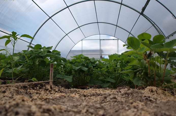 Основное предназначение теплиц «Фермер» – выращивание в парнике с/х культур в промышленных масштабах