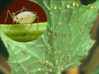 Одним из часто встречающихся вредителей, поражающих огурцы, являются тли
