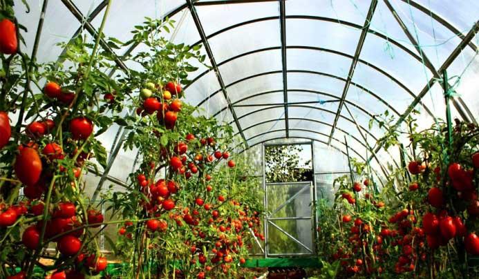 В последнее время большинство огородников отдают предпочтение томатам для теплиц из современного поликарбоната