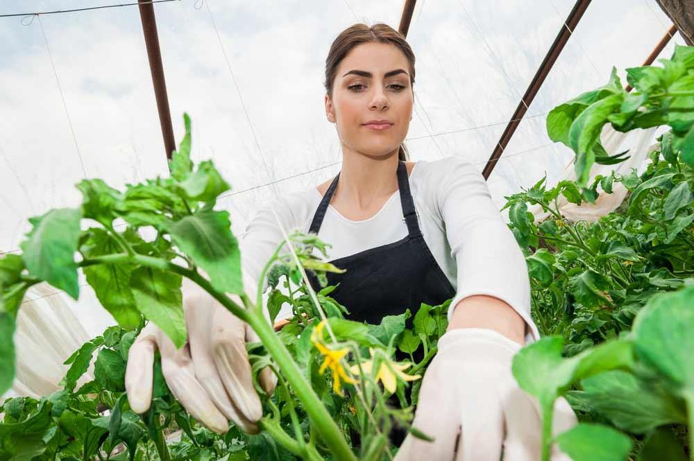 В случаях, когда пожелтение и засыхание томатов становится результатом нарушений в условиях содержания растений, а не инфекционных поражений, очень важно понять, почему произошло возникновение физиологических изменений и устранить их причины